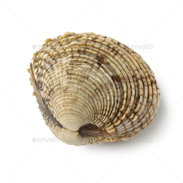Fresh raw warty venus clam - Stock Photo - Images