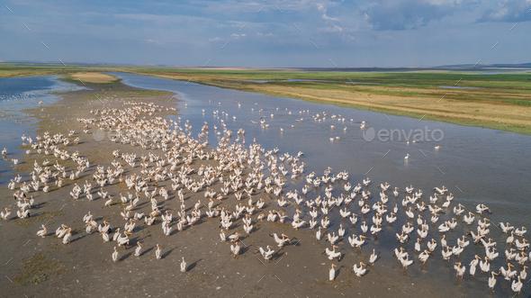 white pelicans in Danube Delta, Romania - Stock Photo - Images