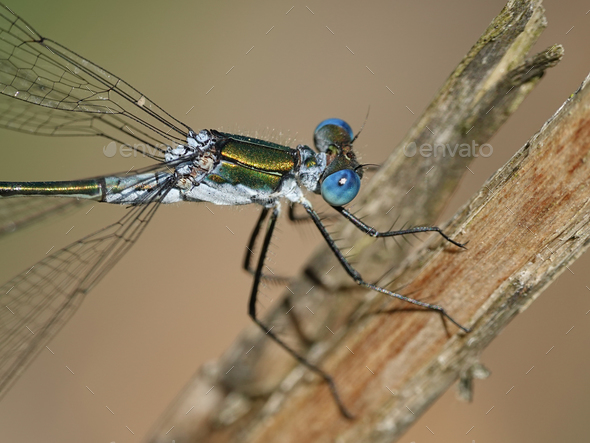 Emerald damselfly (Lestes sponsa) - Stock Photo - Images