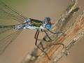 Emerald damselfly (Lestes sponsa) - PhotoDune Item for Sale