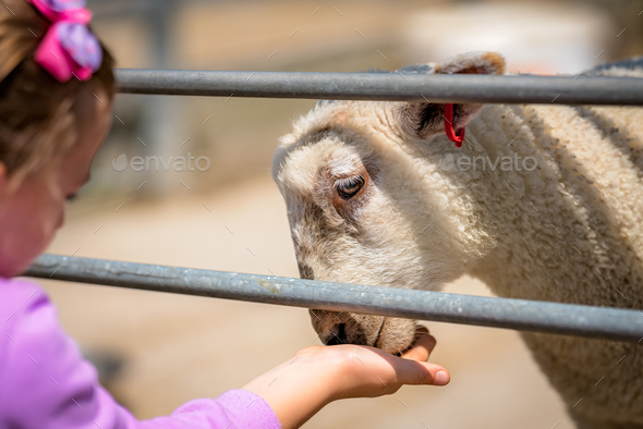 Little cute girl feeding sheep on a farm - Stock Photo - Images