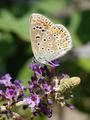 Brown argus (Aricia agestis) - PhotoDune Item for Sale