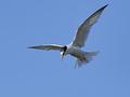 Little tern (Sternula albifrons) - PhotoDune Item for Sale