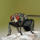 Flesh fly (Sarcophaga) - PhotoDune Item for Sale