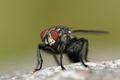 Flesh fly (Sarcophaga) - PhotoDune Item for Sale