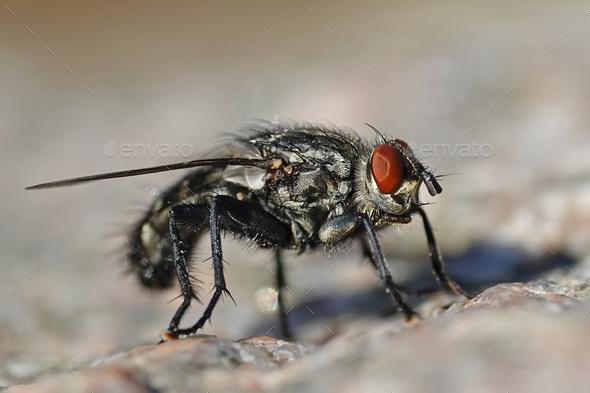 Flesh fly (Sarcophaga) - Stock Photo - Images