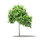Common Fig Tree 3D Model 1.4m