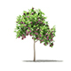 Common Fig Tree with Fruits 3D Model 1.4m