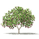 Common Fig Tree with Fruits 3D Model 2.4m