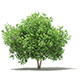 Common Fig Tree 3D Model 3.4m