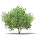Common Fig Tree with Fruits 3D Model 3.4m