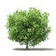 Common Fig Tree 3D Model 3.3m