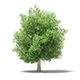 Common Fig Tree 3D Model 6.6m