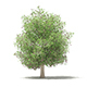 Common Fig Tree with Fruits 3D Model 6.6m