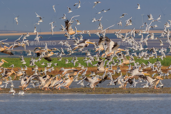 white pelicans and seagulls in flight - Stock Photo - Images