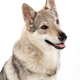 Czechoslovakian wolf dog against white background - PhotoDune Item for Sale