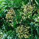 Longan fruits in growth on tree - PhotoDune Item for Sale