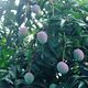 Mango fruits in growth on tree - PhotoDune Item for Sale