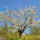 Cherry blossom in Jerte Valley, Caceres. Spring in Spain. Seasonal - PhotoDune Item for Sale