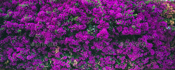 Wall covered with purple Bougainvillea - Stock Photo - Images