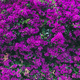 Wall covered with purple Bougainvillea - PhotoDune Item for Sale