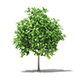 Pomelo Tree with Fruits 3D Model 2.6m - 3DOcean Item for Sale