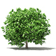 Pomelo Tree 3D Model 2.8m - 3DOcean Item for Sale