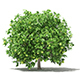 Pomelo Tree with Fruits 3D Model 2.8m - 3DOcean Item for Sale