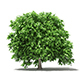 Pomelo Tree 3D Model 2.4m - 3DOcean Item for Sale