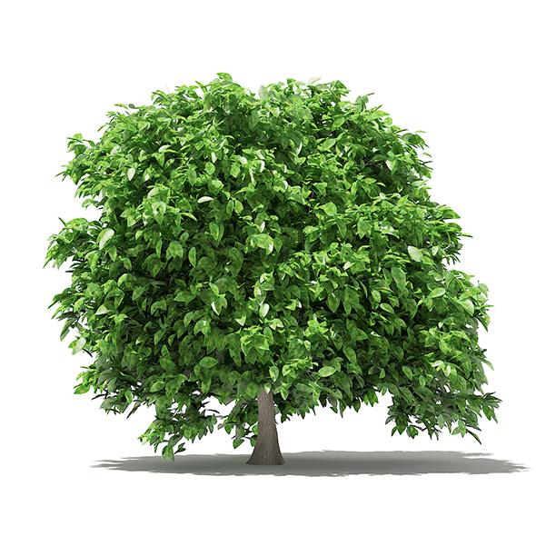 Pomelo Tree 3D Model 2.4m - 3DOcean Item for Sale