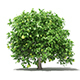 Pomelo Tree with Fruits 3D Model 2.4m - 3DOcean Item for Sale