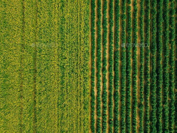 Aerial view of Rows of potato and rapeseed field. Yellow and green agricultural fields in Finland. - Stock Photo - Images