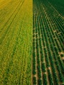 Aerial view of Rows of potato and rapeseed field. Yellow and green agricultural fields in Finland. - PhotoDune Item for Sale