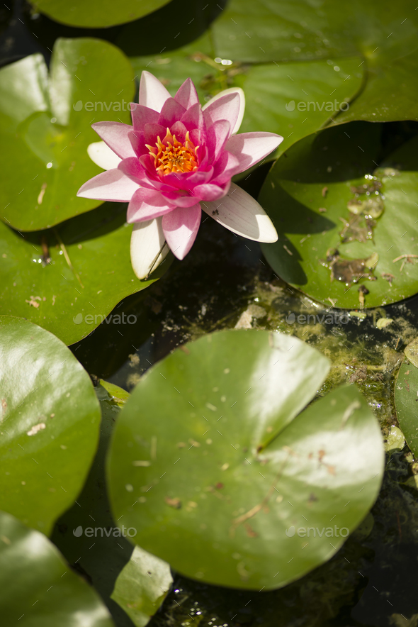 Flowers of waterlily plant - Stock Photo - Images