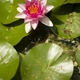 Flowers of waterlily plant - PhotoDune Item for Sale
