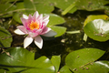 Flowers of waterlily plant