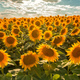 Blooming sunflower crop field - PhotoDune Item for Sale