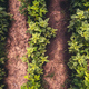 Soybean row spacing, top view - PhotoDune Item for Sale