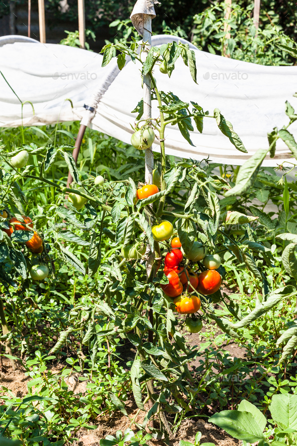 tomatoes on garden beds and in greenhouse - Stock Photo - Images