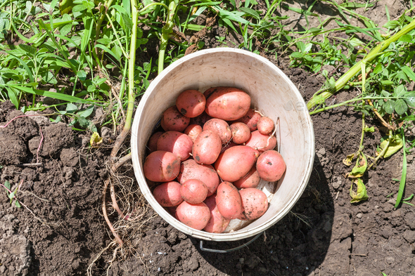 top view of young potatoes in bucket on dug bed - Stock Photo - Images