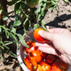 hand picks up ripe tomatoes into basket - PhotoDune Item for Sale