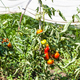 tomatoes on garden beds and in greenhouse - PhotoDune Item for Sale