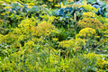 wet inflorescences of dill in garden after rain - PhotoDune Item for Sale