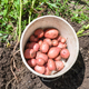 top view of young potatoes in bucket on dug bed - PhotoDune Item for Sale