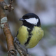 Great tit - PhotoDune Item for Sale