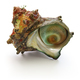 sazae , japanese horned turban shell  - PhotoDune Item for Sale