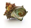 sazae , japanese horned turban shell  - PhotoDune Item for Sale