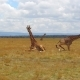 Group of Giraffes in Savannah at Africa - VideoHive Item for Sale
