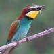 Bee-eaters Dragonfly Caught and Eats It - VideoHive Item for Sale