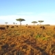 Buffalo Bulls Grazing in Savannah at Africa - VideoHive Item for Sale